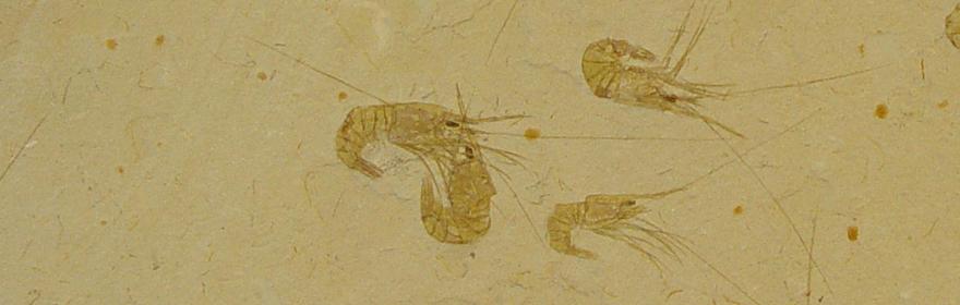 Fossilised Shrimp Plaque