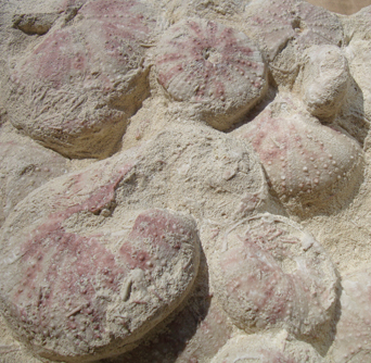 Fossilised Sea Urchin Plaque - detail