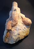 Fossilised Araucaria