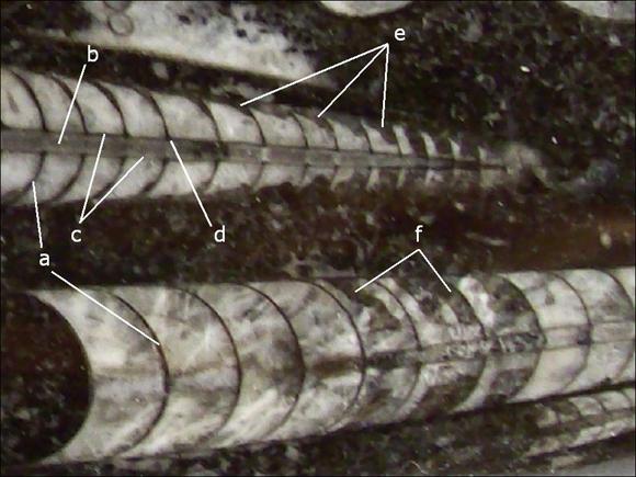 Orthoceras Fossil Details