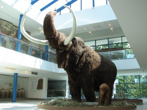 Life size models of Woolly Mammoth in the Brno museum by HTO