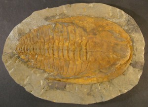 Fossilised Trilobite