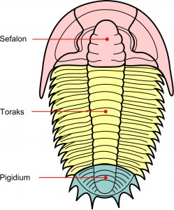 Trilobite Sections
