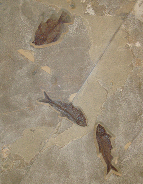 Fossilised Fish in Limestone Plaque