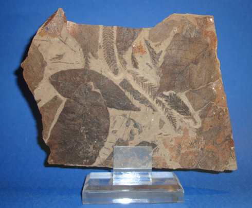 Fossilised Fern and Leaf Remains