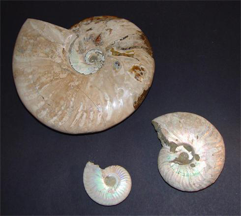 Whole Pearlised/Iridescent Ammonites