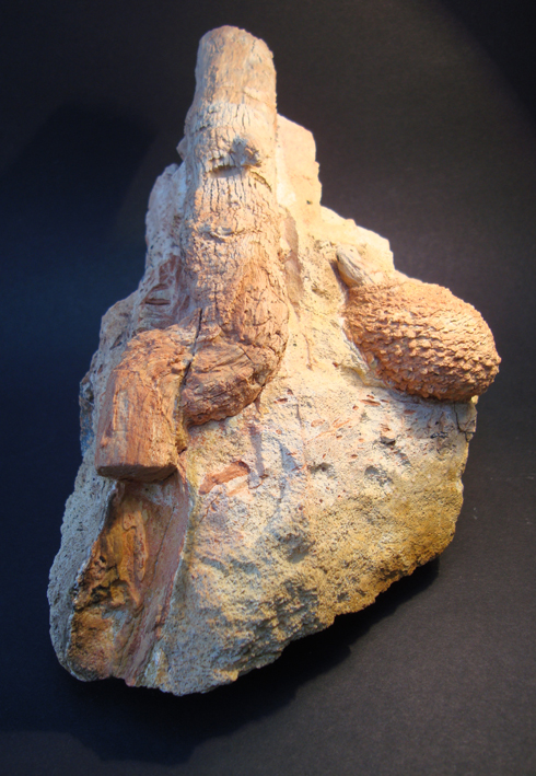 Araucaria Whole Fossilised Pine Cone and Branch