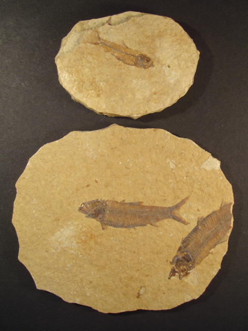 Fossilised Fish Plaques - perfect gifts