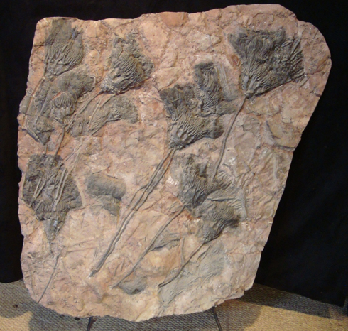 Large Crinoid Plaque (Sea Lillies)