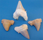 Fossilised Sharks Teeth - great gifts