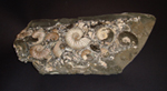 Rare Clustered Ammonite Plaque