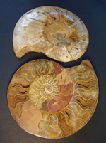 Large Split and Polished Ammonite