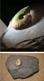 Iridescent Ammonite in Calcite