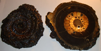 Fire Black Russian Pyritised Ammonite